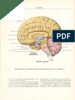 2 44              Atlas de Anatomia Humana 3,  ,,SINELNIKOV R D, E d Sistema Nervioso, Órganos d l sentidos y Ó d Secreción interna (glándulas).pdf
