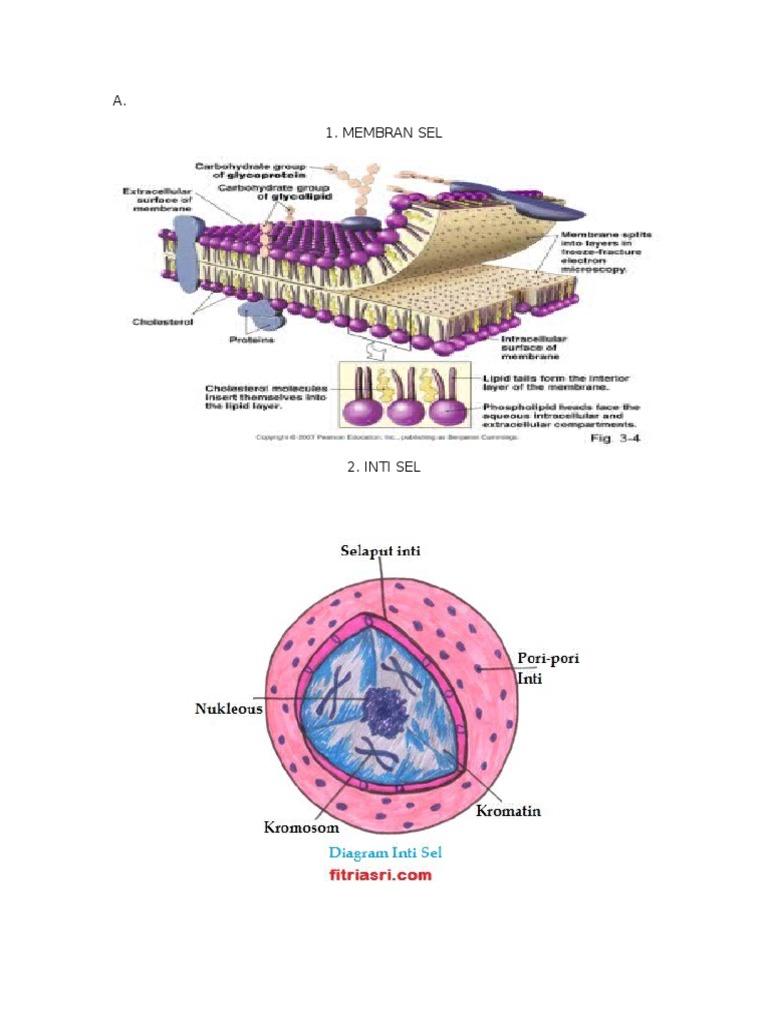 Gambar organel organel sel ccuart Choice Image