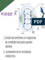 anafase A