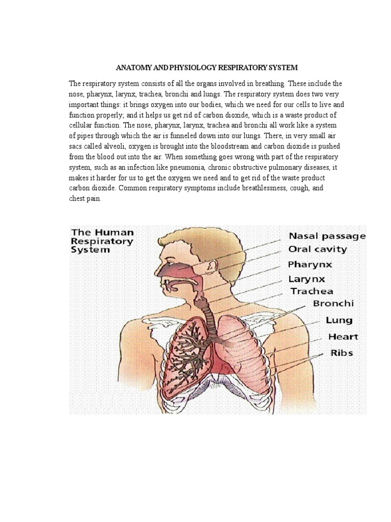 Anatomy and Physiology Respiratory System | Lung | Respiratory System