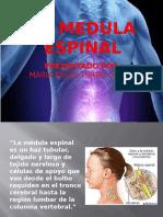 La Medula Espinal