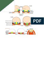 Embriologi Hidung n Telinga