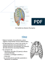 Torax - Pulmones