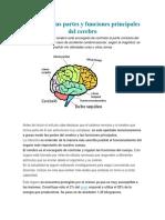 Partes y Funciones Principales Del Cerebro
