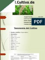 El Cultivo de Arroz en República Dominicana