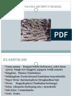 Echinochloa Colona (Rumput Bebek) Ppt