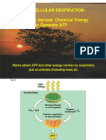 Plant Cellular Respiration