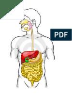 Aparato Digestivo Sin Partes