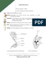 Aristolochiaceae