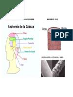 Anatomía Del Cráneo Aplicada a La Peluquería Anatomía Del Pelo