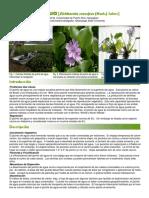 Jacinto de Agua-Eichhornia Crassipes_0