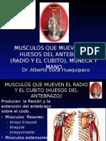 7 Musculos Que Mueven El Radio y El Cubito