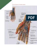 Anatomi Tendon Di Telapak Tangan