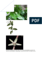 Planta de mapurite