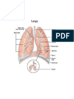 Parts of the Lungs