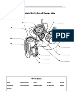 male reproductive system - labeling