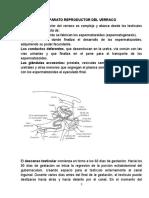 Anatomía Del Aparato Reproductor Del Verraco