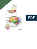 Anatomia. Imagenes Pares Craneales, Hemisferios y Zonas Cerebralews