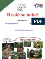 Recoleccion y Control de Calidad Del Cafe Cereza