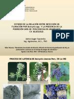 Botrytis Endogena en Arandanos 2014 Jaime Auger