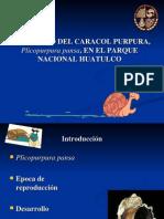 Plicopurpura panza