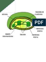 Partes-Cloroplastos