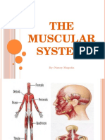the muscular system new