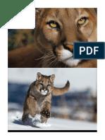 Patrulla Puma