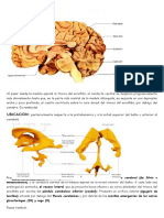 Neuroanatomia Word