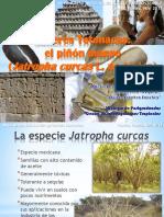 Saberes Totonacas  -- El piñon manso.pdf