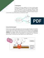 La Beta Oxidación de Los Ácidos Grasos
