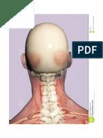 Anatomía - 3d Cabeza IV
