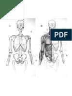 Anatomía - Ilustración IV - Torso