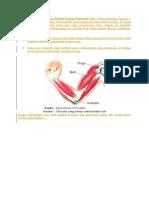 Mekanisme Gerak Otot Dan Sumber Energi Kontraksi Otot