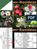 Super Rosideas