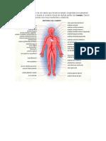 Arterias y Venas de Cuerpo Humano