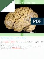 Corteza Cerebral y Diencefalo.