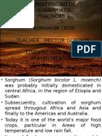 sorghumcrop-131002211803-phpapp01