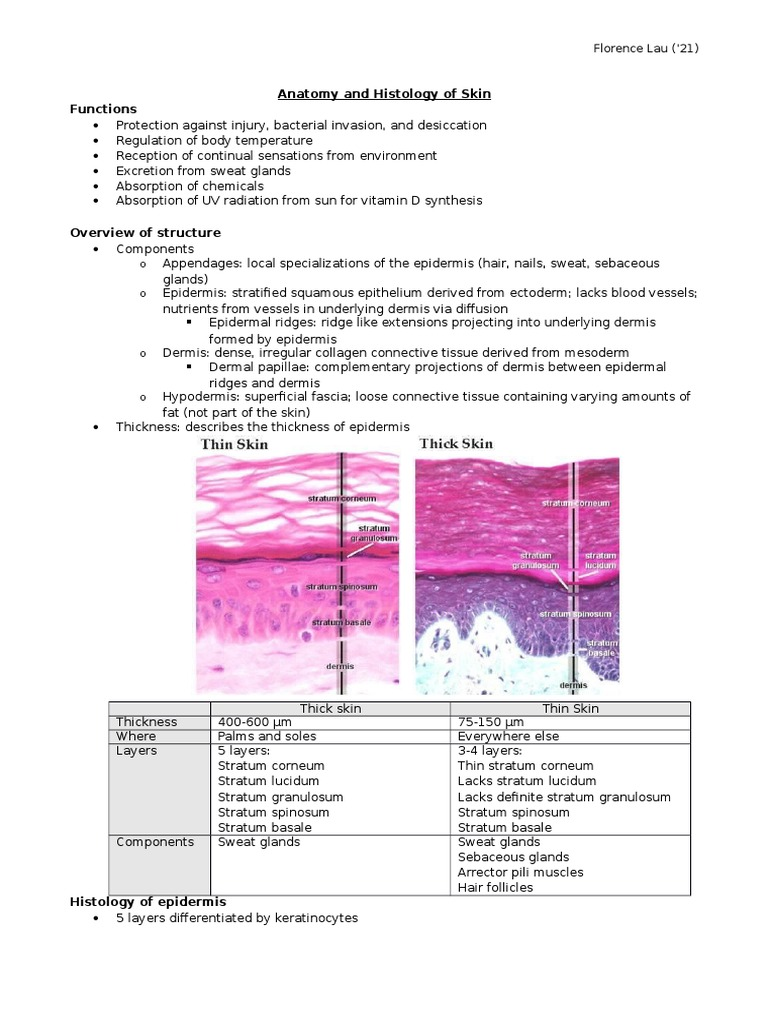 Anatomy And Histology Of Skin Skin Epidermis
