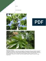 Guarumbo Planta