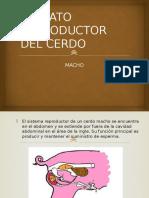 Aparato Reproductor Del Cerdo