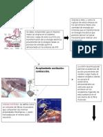 Teoría de acoplamiento-contracción y deslizamiento.