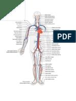 Sistema Circulatório Figura