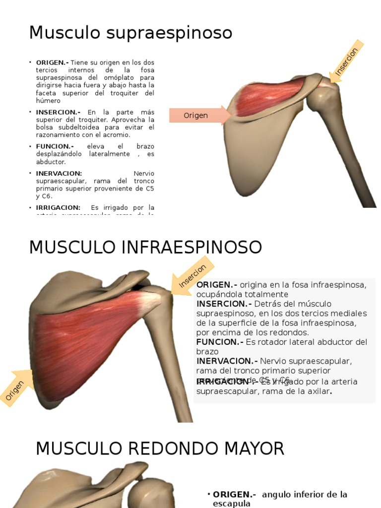 insercion musculo redondo mayor