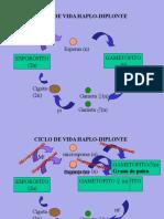 TP10 Ciclos Angiospermas Gimnospermas.ppt
