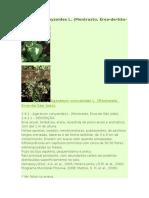 Ageratum Conyzoides L