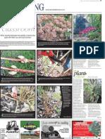 Winter pruning Hydrangea macrophylla