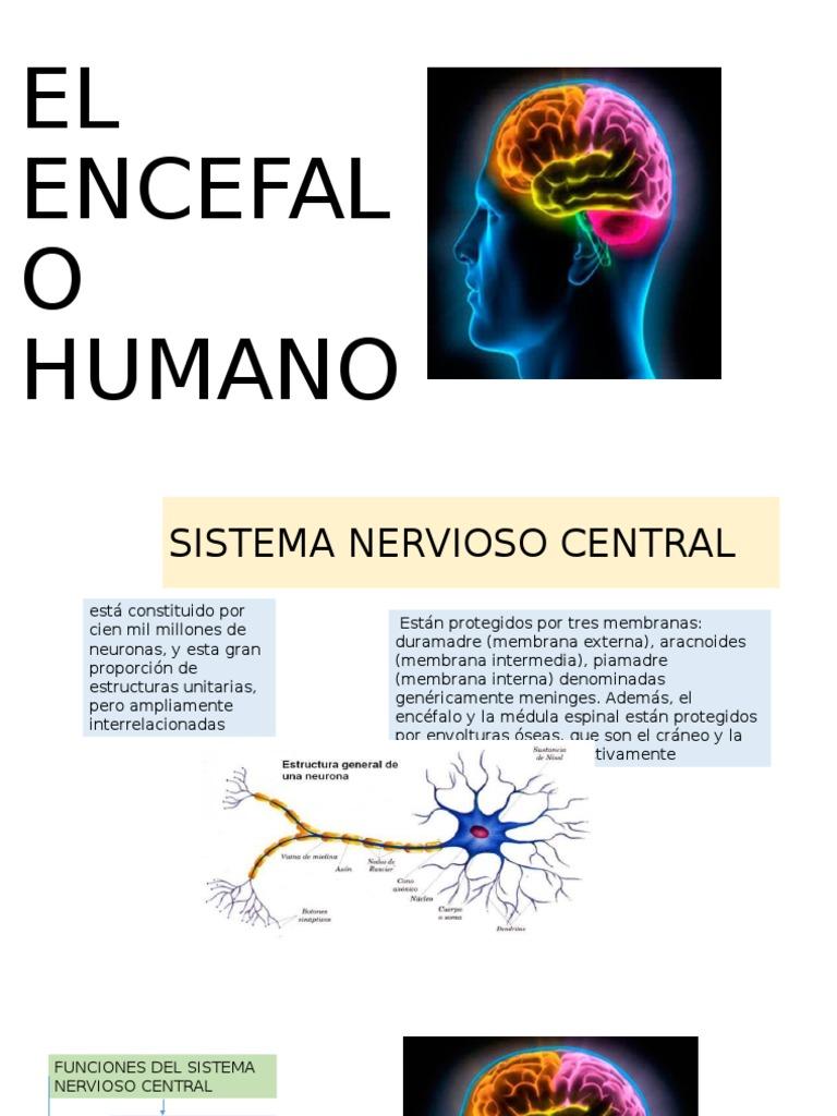 Encefalo Humano Anato Cerebellum Primate Anatomy