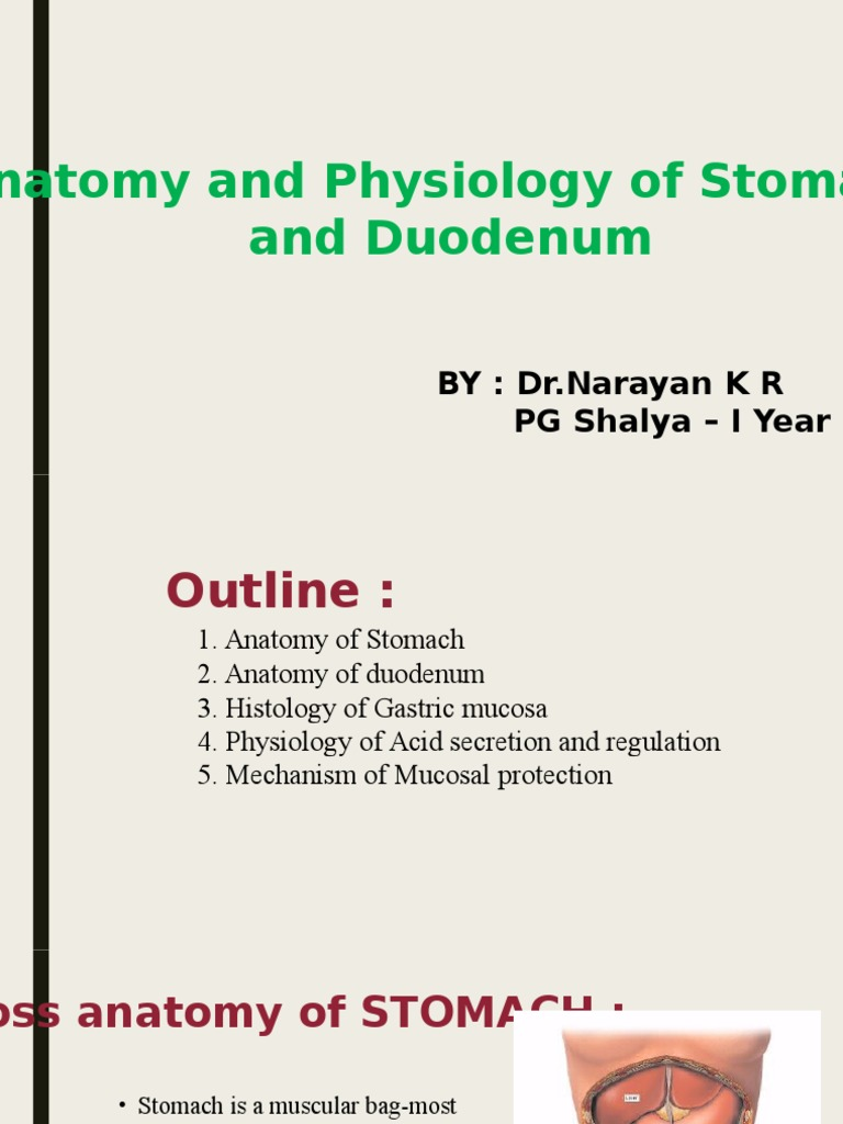 Anatomy And Physiology Of Peptic Ulcer Stomach Digestive System