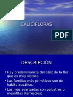 18_Calicifloras